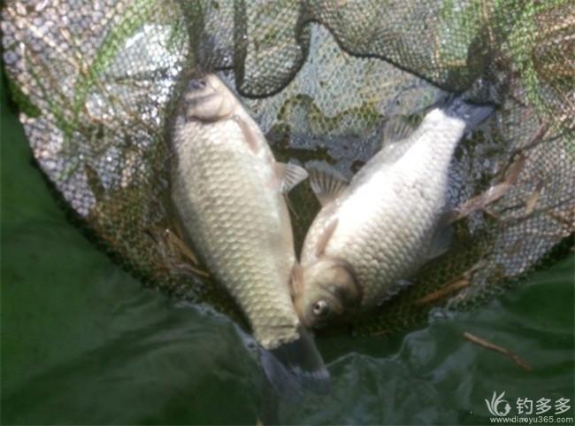 【幸福战队】【我的钓鱼故事】--迎春的鱼缘