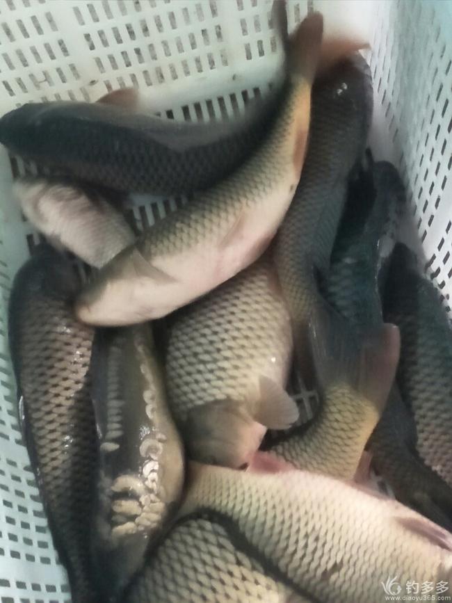 大棚冬钓鲤鱼探讨