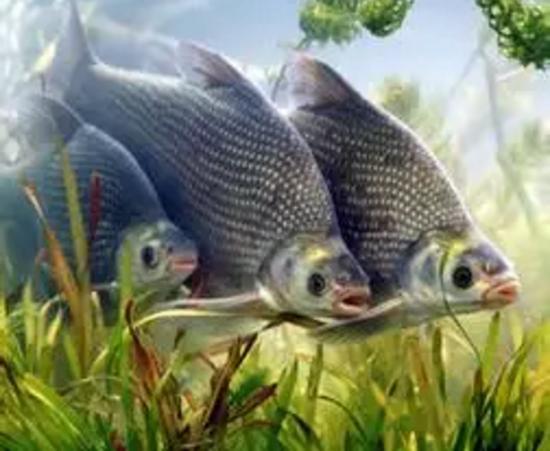 水库钓鳊鱼,选择饵料和技巧很重要!