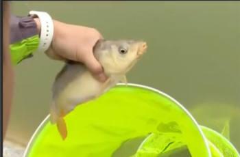 【就这样钓鱼】春钓大鲤用饵法