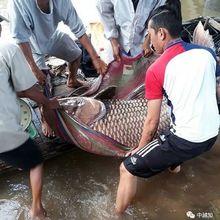 成精了!越南渔民捕获250斤巨型鲤鱼 卖了3亿多
