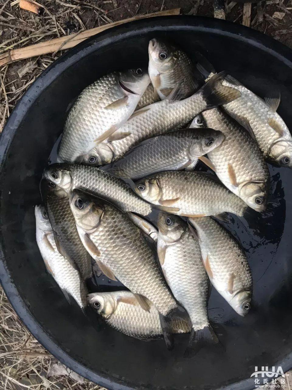 83秒扬竿4次钓上7条鱼,这鱼情够可以