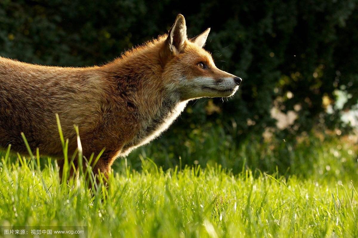 狐狸:我这都要成精了,也是你老鹰想逮就能逮的呀